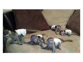 Maimuțe capucine Pure Breed Full Pedigree pentru adopție