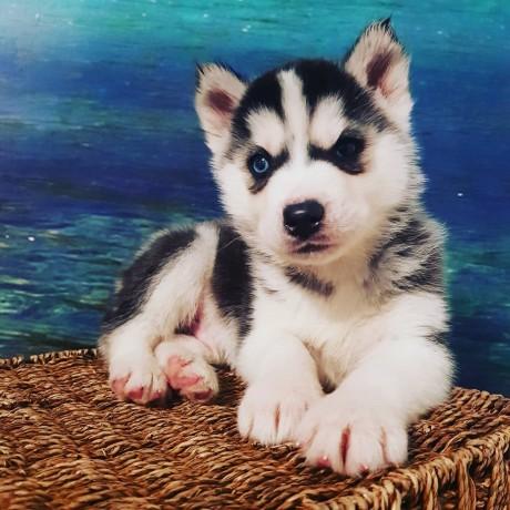 husky-siberian-big-0