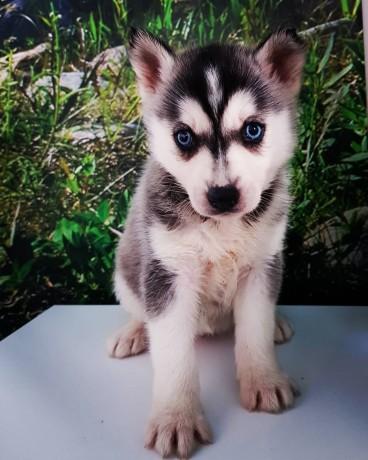 husky-siberian-big-3